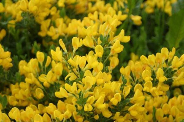 Cytisus decumbens (Durande) Spach