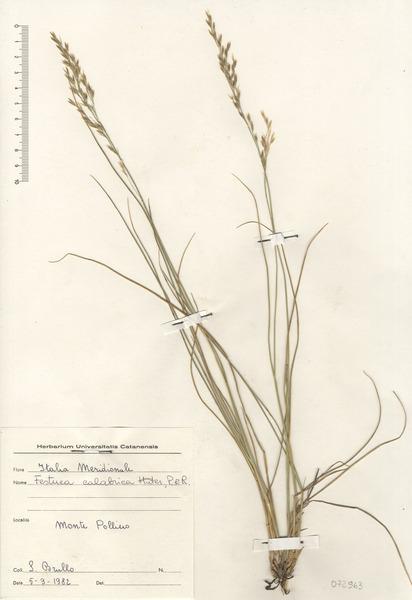 Leucopoa calabrica (Huter, Porta & Rigo) H.Scholz & Foggi