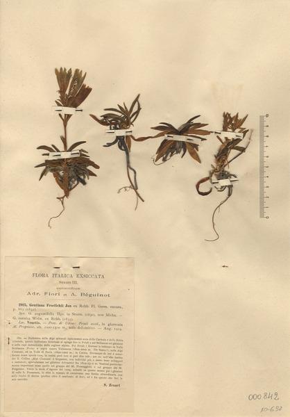 Gentiana froelichii Jan ex Rchb. subsp. froelichii