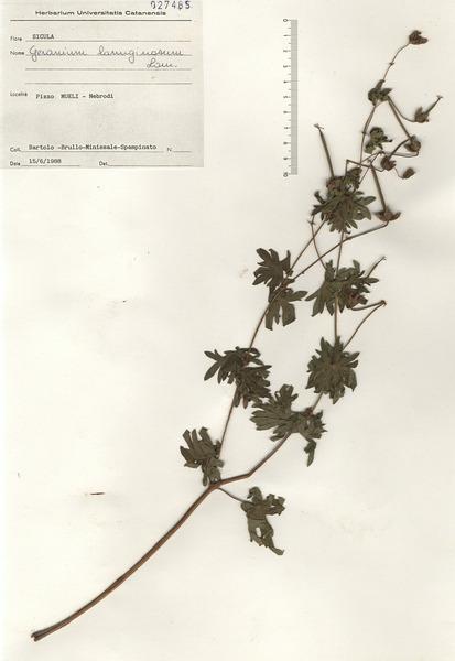 Geranium lanuginosum Lam.