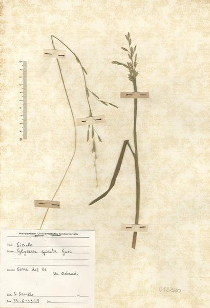 Glyceria spicata Guss.