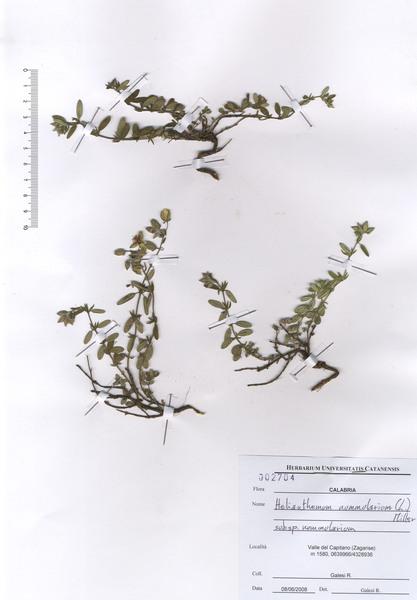 Helianthemum nummularium (L.) Mill. subsp. nummularium