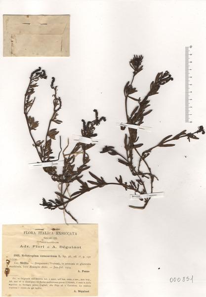 Heliotropium curassavicum L.
