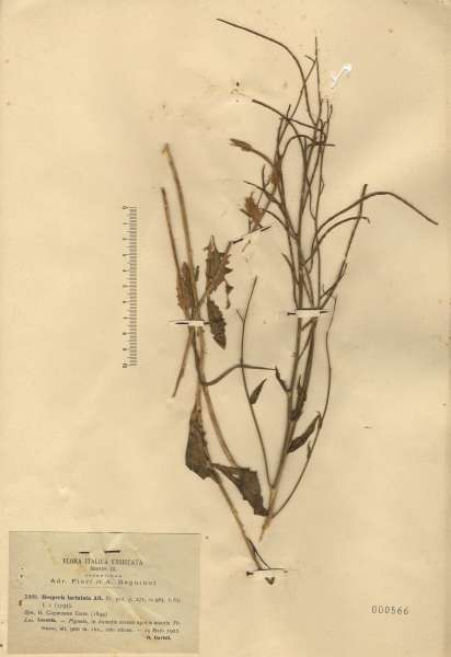 Hesperis laciniata All. subsp. laciniata