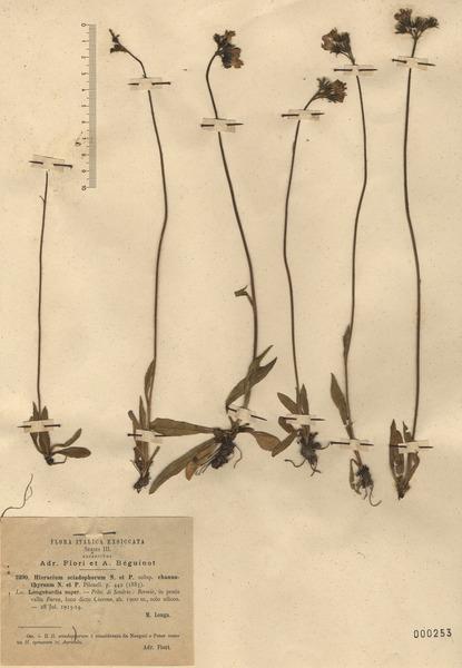 Pilosella sciadophora (Nägeli & Peter) Soják