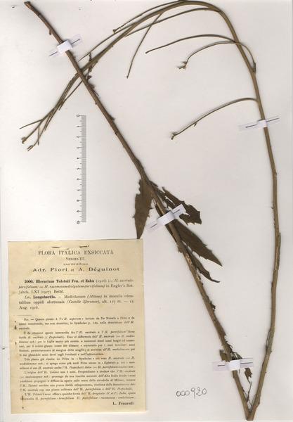 Hieracium tolstoii Fen. & Zahn