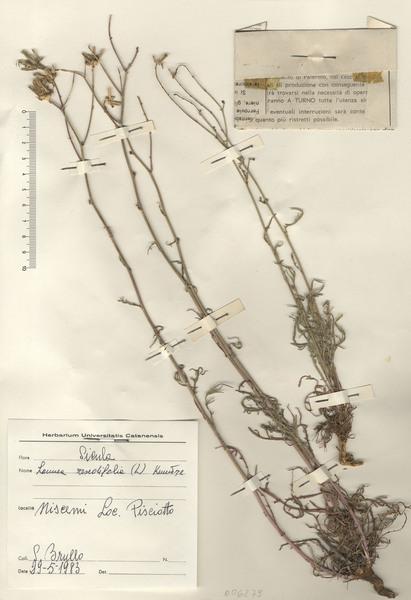 Launaea resedifolia (L.) Kuntze