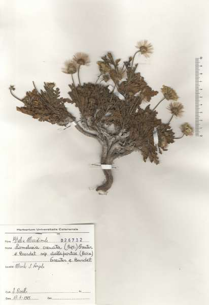 Lomelosia crenata (Cirillo) Greuter & Burdet subsp. dallaportae (Boiss.) Greuter & Burdet