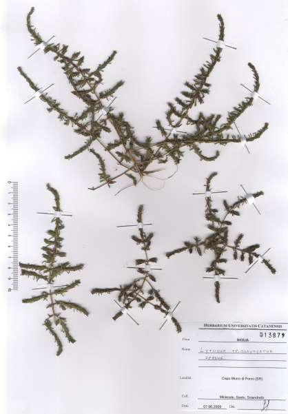 Lythrum tribracteatum Salzm. ex Spreng.