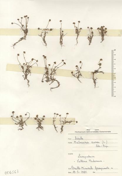 Matricaria aurea (Loefl.) Sch.Bip.