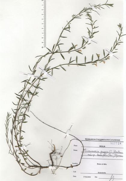Micromeria graeca (L.) Benth. ex Rchb. subsp. tenuifolia (Ten.) Nyman