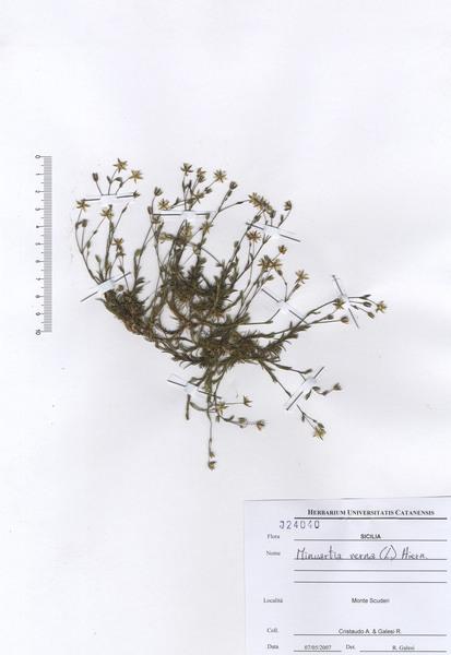 Sabulina glaucina (Dvořáková) Dillenb. & Kadereit