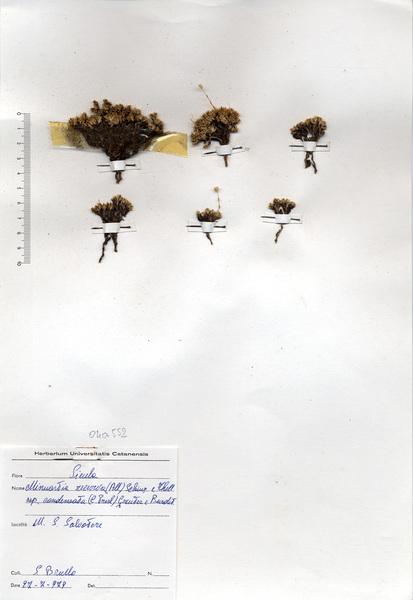 Minuartia recurva (All.) Schinz & Thell. subsp. condensata (C.Presl) Greuter & Burdet