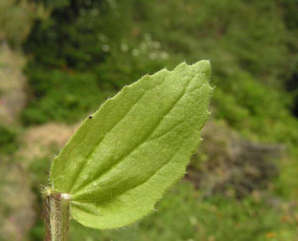 Campanula dichotoma L.