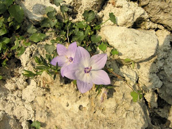 Campanula fragilis Cirillo subsp. fragilis