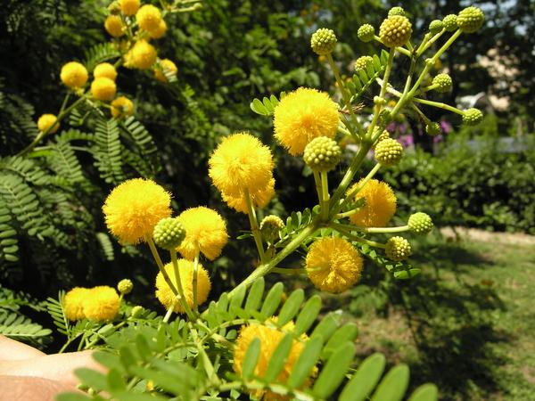 Vachellia farnesiana (L.) Wight & Arn.