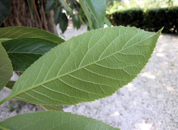 Cordia myxa L.