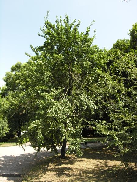 Prunus domestica L.