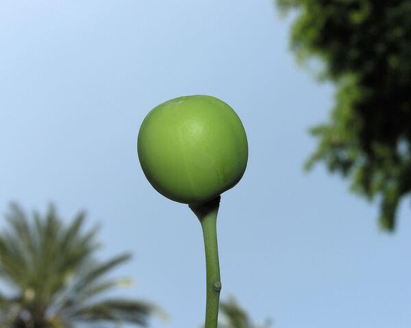 Manihot esculenta Crantz subsp. esculenta