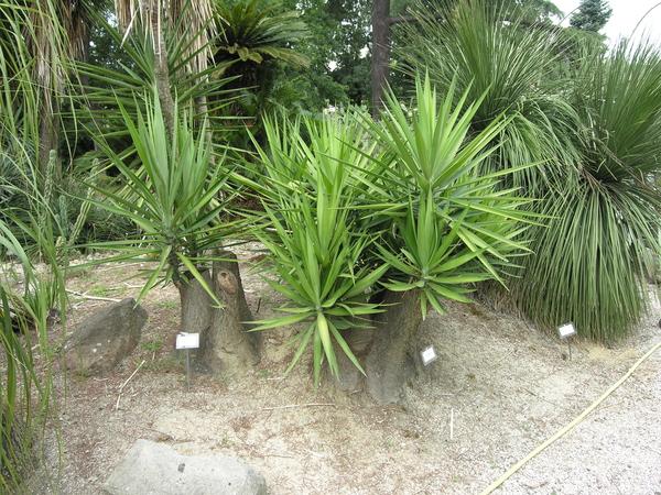 Yucca guatemalensis Baker