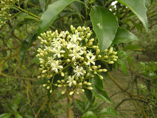Auranticarpa rhombifolia (A.Cunn. ex Hook.) L.W.Cayzer et al.
