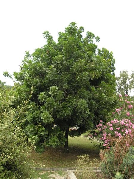 Harpephyllum caffrum Bernh. ex Krauss