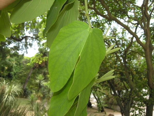Bauhinia aculeata L.