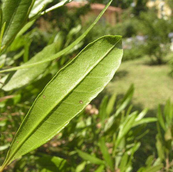 Dodonaea viscosa (L.) Jacq.