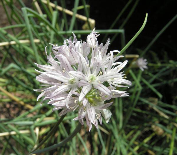 Allium schoenoprasum L. subsp. schoenoprasum
