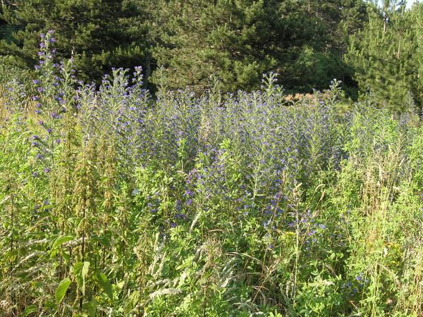 Echium vulgare L. subsp. vulgare