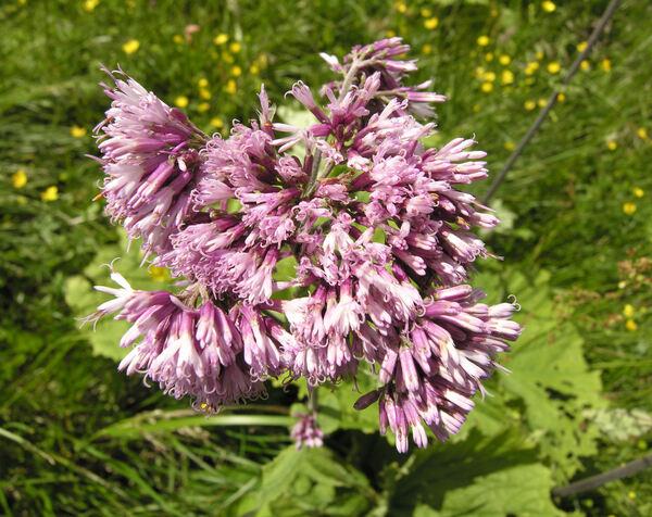 Adenostyles alliariae (Gouan) A.Kern.