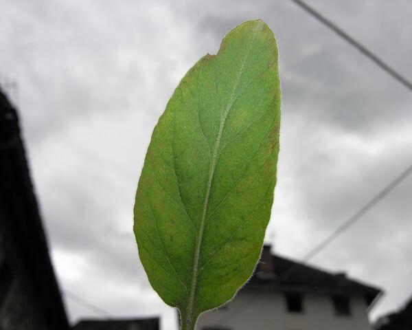 Lysimachia punctata L.