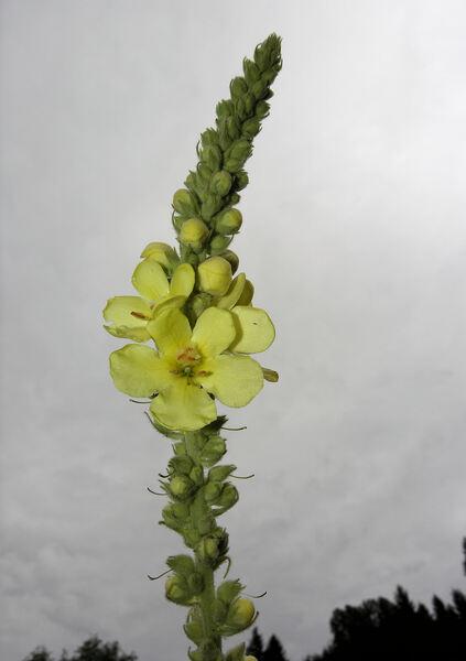 Verbascum thapsus L. subsp. montanum (Schrad.) Bonnier & Layens