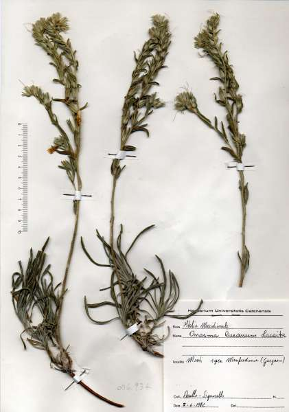 Onosma pseudoarenaria Schur subsp. lucana (Lacaita) Rauschert