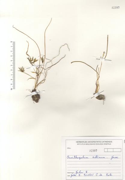 Ornithogalum collinum Guss. subsp. collinum