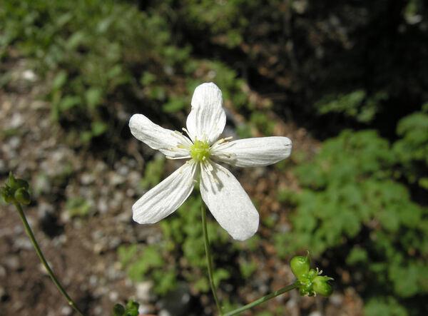 Ranunculus platanifolius L.