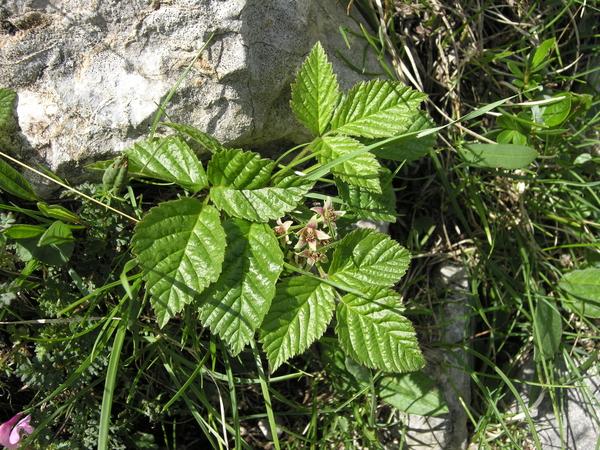 Rubus saxatilis L.