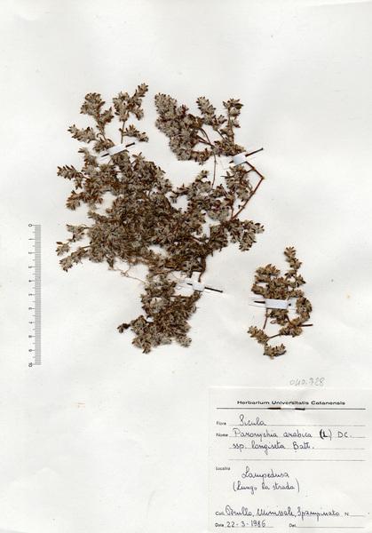 Paronychia arabica (L.) DC. subsp. longiseta Batt.