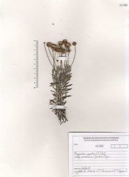 Phagnalon rupestre (L.) DC. subsp. annoticum (Jord. ex Burnat) Pignatti