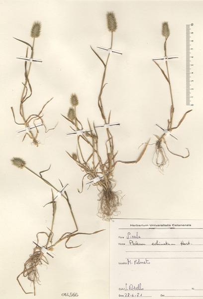 Phleum echinatum Host