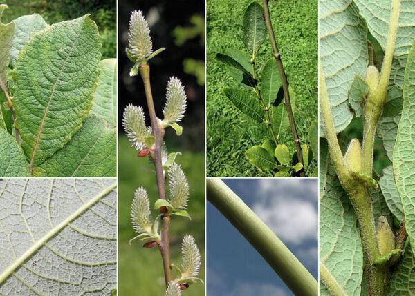 Salix appendiculata Vill.