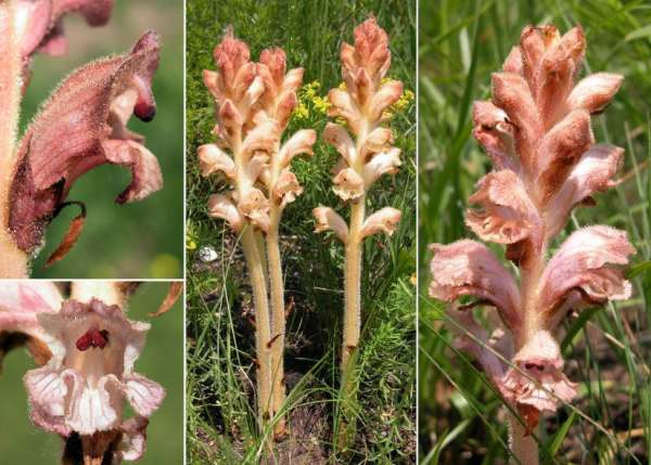 Orobanche caryophyllacea Sm.