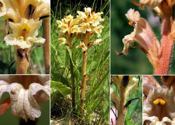 Orobanche lutea Baumg.