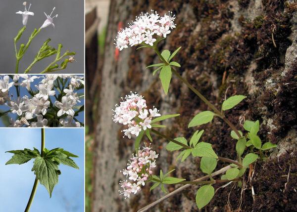 Valeriana tripteris L. subsp. austriaca E.Walther