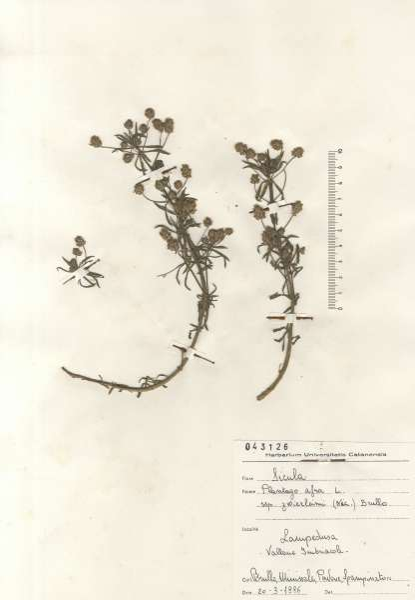 Plantago afra L. subsp. zwierleinii (Nicotra) Brullo