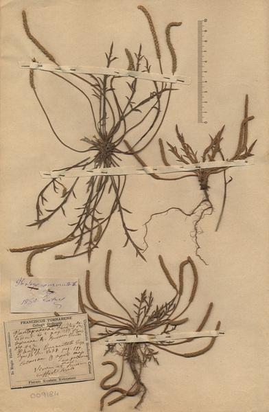 Plantago weldenii Rchb.