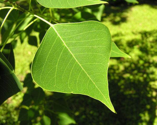Sapium sebiferum (L.) Roxb.