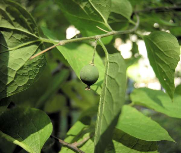 Celtis occidentalis L.