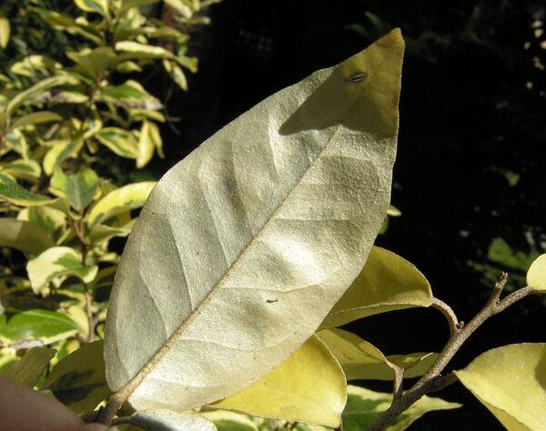 Elaeagnus ×ebbingei Door. 'Gilt Eage'