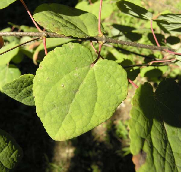 Cercidiphyllum japonicum Siebold & Zucc.